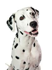Собаки Белый фон Далматин Взгляд Животные