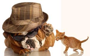 Фотография Собаки Белом фоне Котята Бульдог Шляпе Очках Животные