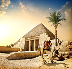 Фотография Египет Верблюды Пирамида Пальмы Cairo Природа