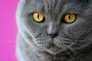 Картинки Глаза Скоттиш-фолд Крупным планом Смотрит Серый Морда Нос Животные
