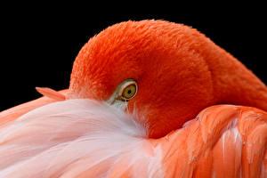 Фото Фламинго Вблизи Оранжевый Голова Животные