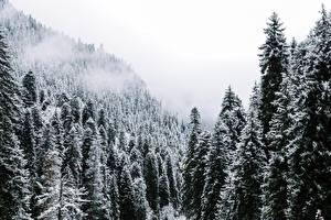 Обои Леса Ель Снег Природа фото