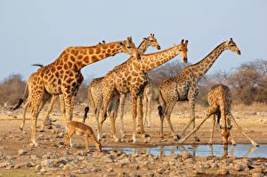 Картинки Жирафы