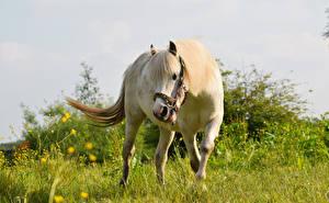 Обои Лошади Белый Трава Животные фото