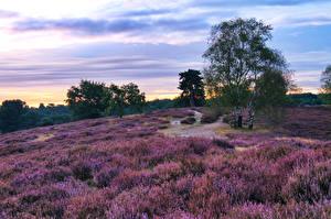 Обои Лаванда Германия Парки Рассветы и закаты Небо Деревья Westruper Heide Природа фото