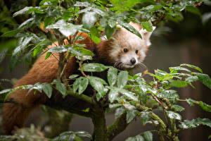 Фото Малая панда Бамбуковый медведь Лист