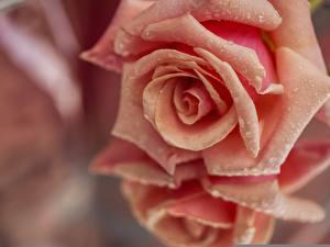 Картинка Розы Крупным планом Капли Розовый Цветы