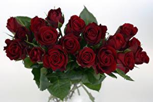 Фотографии Розы Крупным планом Белый фон Бордовый Цветы