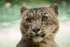 Фото Ирбис Морда Голова Взгляд Животные