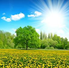 Обои Лето Поля Одуванчики Небо Деревья Солнца Лучи света Природа