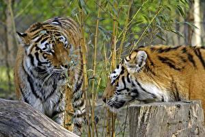 Обои Тигры Бамбук Амурский тигр Двое Животные фото