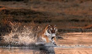 Обои Тигры Реки Вода Брызги Бег Животные фото