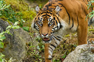 Обои Тигры Суматранский тигр Взгляд Животные фото