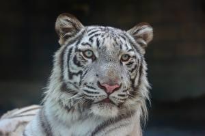 Обои Тигры Белый Взгляд Морда Голова Животные фото