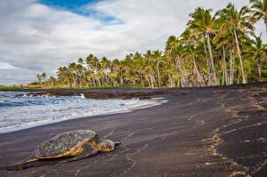 Обои Тропики Побережье Черепахи США Гавайи Пальмы Природа Животные фото