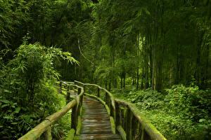 Фотографии Тропики Леса Мосты Бамбук Мох Деревья Деревянный Jungle Природа