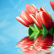 Обои Тюльпаны Крупным планом Красный Отражение Цветы фото