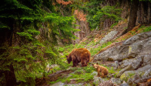 Обои США Парки Медведи Детеныши Гризли Камни Двое Sequoia National Park