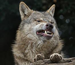 Фотографии Волки Клыки Злость Зубы Лапы Животные