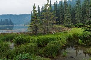 Картинка Аляска Парки Озеро Ель Трава Denali National Park Horseshoe Lake Природа