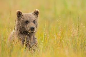 Картинки Медведи Гризли Детеныши Взгляд