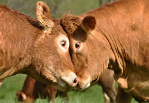 Обои Корова Голова Двое Животные фото