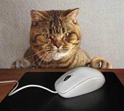 Фото Креатив Кошка Компьютерная мышь Морда Смотрит животное