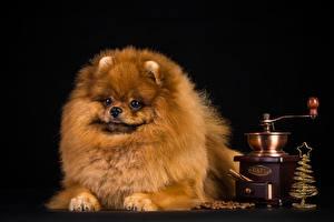 Собаки Черный фон Шпиц Взгляд Животные