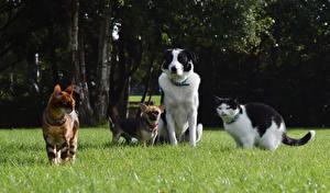 Картинка Собаки Кошки Трава Чихуахуа Бордер-колли Животные