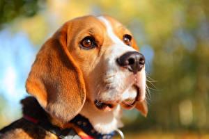Фото Собаки Вблизи Бигль Морда Смотрит Голова