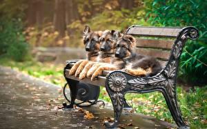 Собаки Немецкая овчарка Скамейка Щенок Трое 3 Животные