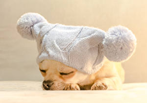 Картинки Собаки Щенок Чихуахуа Шапки Спящий Животные
