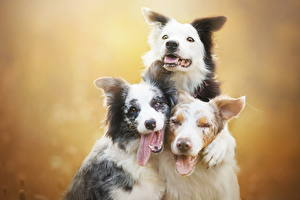 Фото Собаки Трое 3 Язык (анатомия) Бордер-колли Животные