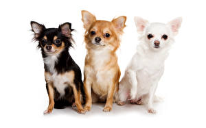 Картинка Собаки Белый фон Трое 3 Чихуахуа Животные