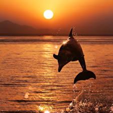 Обои Дельфины Рассветы и закаты Море Прыжок Солнце Животные