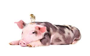 Обои Домашняя свинья Птицы Цыплята Белый фон Животные фото