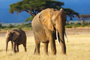 Обои Слоны Детеныши Двое Животные фото