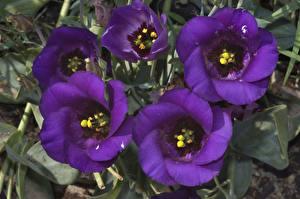 Фото Эустома Крупным планом Фиолетовый Цветы