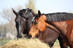 Обои Лошади Двое Сено Животные фото