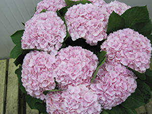 Обои Гортензия Крупным планом Розовая Цветы
