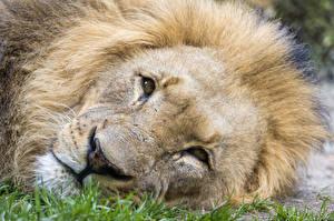 Фото Львы Крупным планом Морда ©Tambako The Jaguar Животные