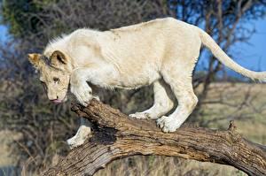 Обои Львы Белый Животные фото