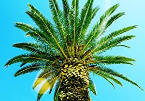 Обои Пальмы Вид снизу Листья Ствол дерева Природа фото