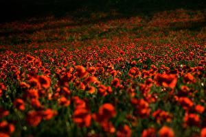 Картинка Мак Поля Красных цветок