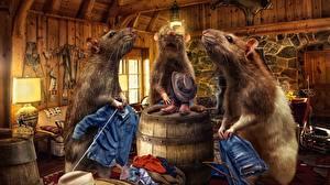 Фотографии Крысы Бочка Джинсы Шляпа Трое 3 Животные