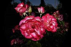 Обои Розы