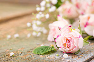 Обои Розы Крупным планом Доски Розовый Цветы