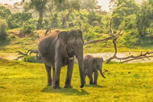 Обои Шри-Ланка Парки Слоны Детеныши Двое Трава Yala National Park Животные фото