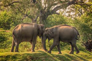 Обои Шри-Ланка Парки Слоны Двое Yala National Park Животные фото