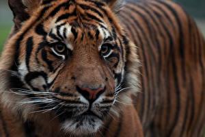 Обои Тигры Крупным планом Суматранский тигр Взгляд Морда Животные фото